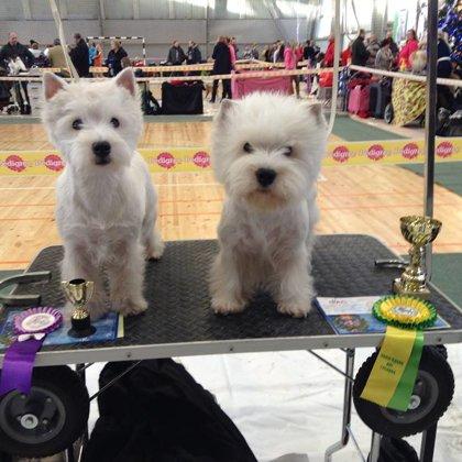 West Highland White Terrier - Owner Larisa Martinova